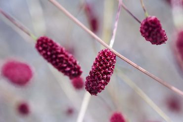Sanguisorba-home-page-wee